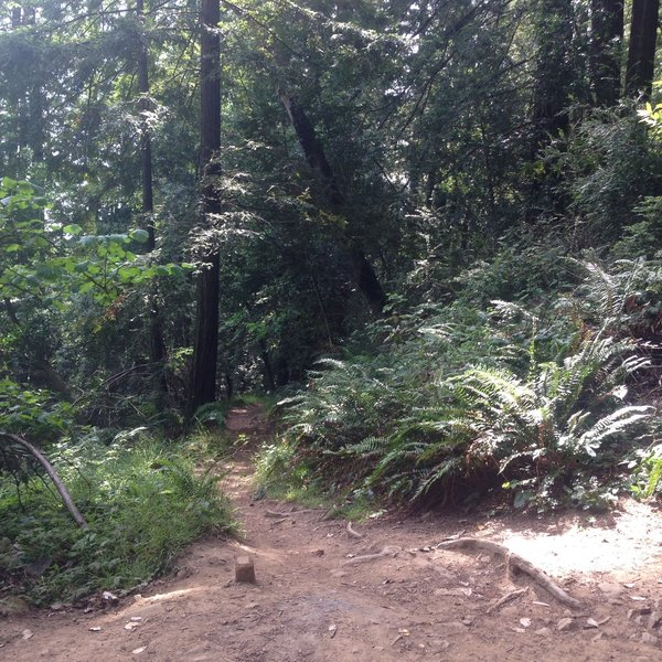 Beginning of French Trail after dropping down Madrone trail.