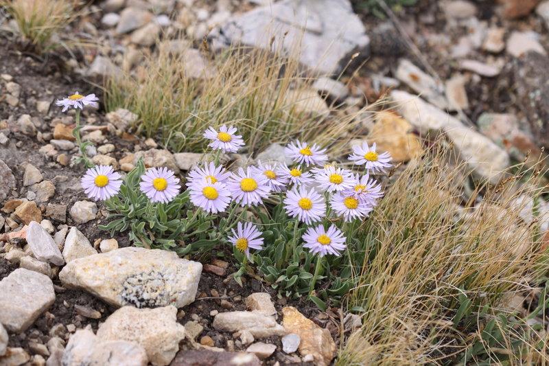 Wildflowers near Alta.