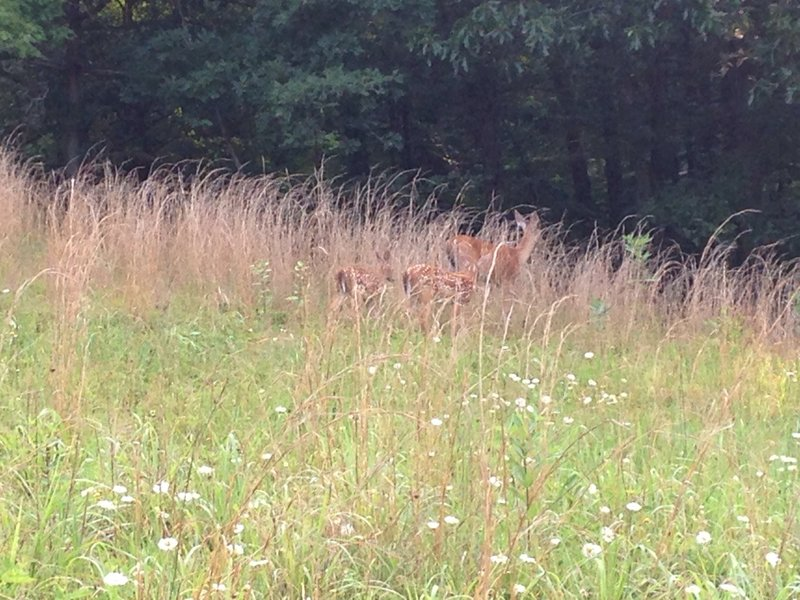 Some baby deer and their mother along the trail.