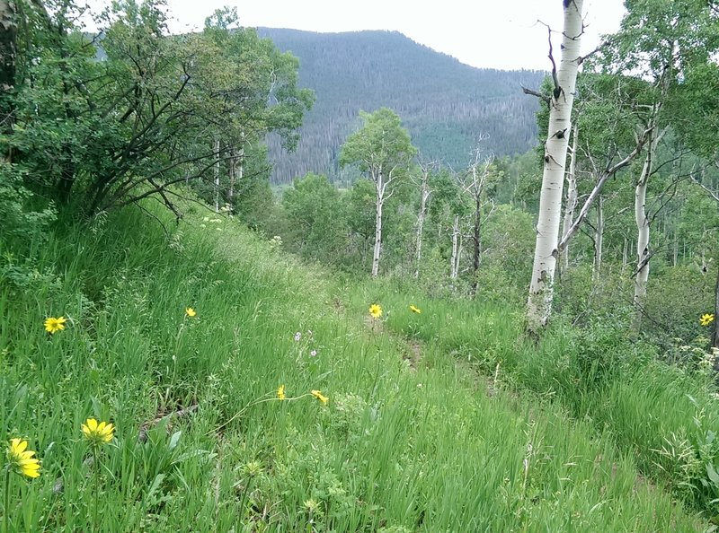 The start of the aspen groves along the North Trail