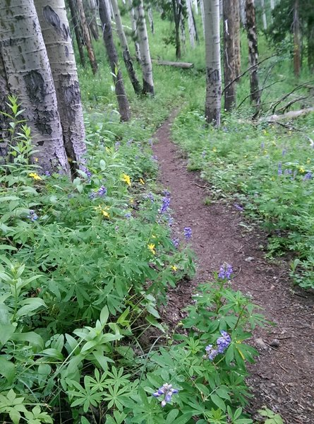 Aspens and wildflowers grow denser here