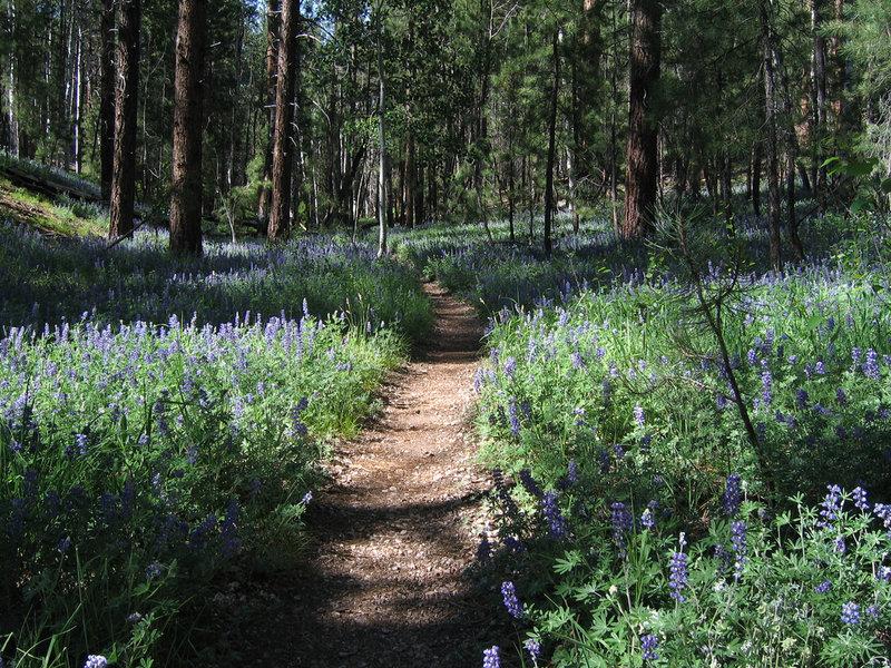Grand Canyon's North Rim - Widforss Trail (photo by Joshua Eckert)