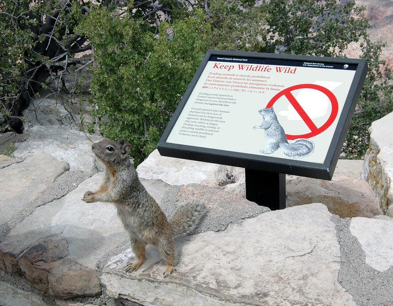Grand Canyon Nat. Park: Rock Squirrel