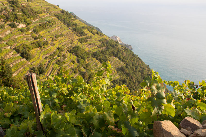 View of terraced vineyards and Manarola in the distance