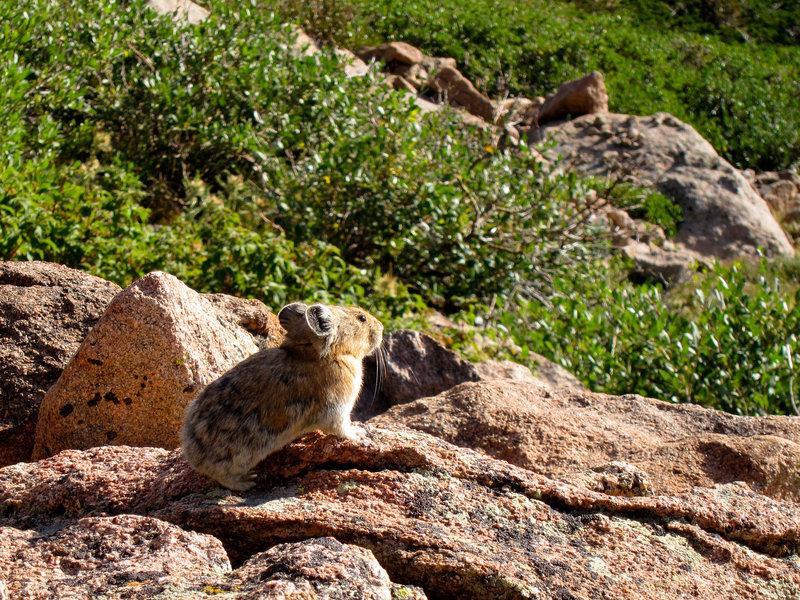 Pika on Flattop Mountain on Rocky Mountain National Park
