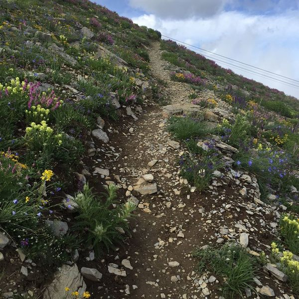 Upper mountain wildflowers offering a multitude of colors!  Upper reaches of the Cirque Trail