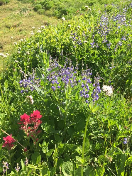Wildflowers along the Nisqually Vista Trail