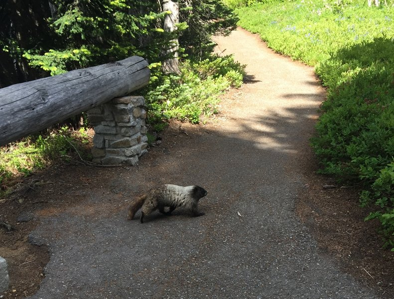 Marmot sighting!