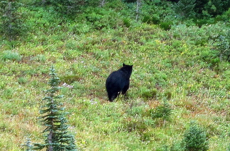 Black bear foraging near Dead Horse Creek (photo by Steve Cyr)