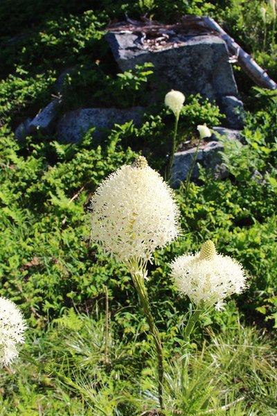 Closeup of beargrass