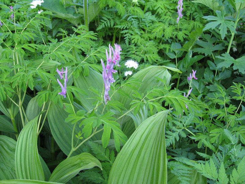 Corydalis scouleri and Veratrum viride (Corn Lily) (photo by Brewbooks)