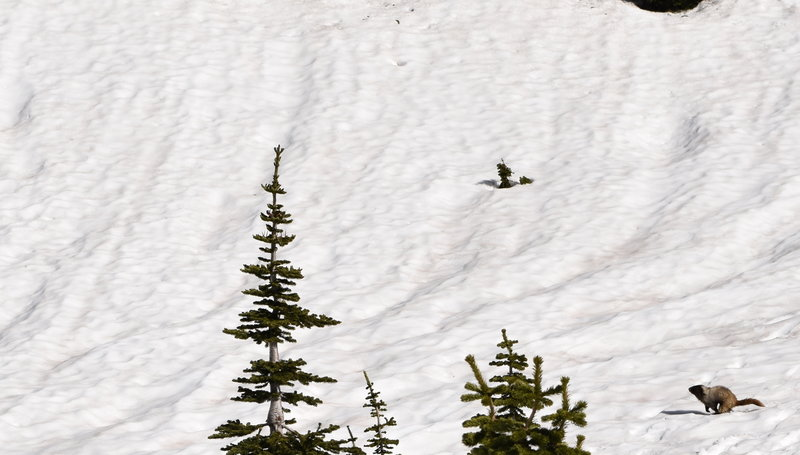 Marmots scamper in the snow at Mt Rainier NP