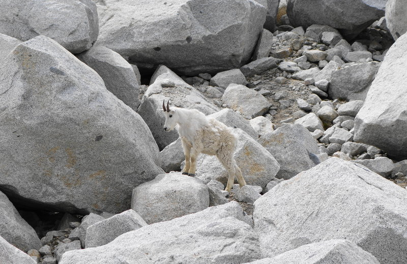 One of many goats spotted while we broke for lunch before our Annapurna sidetrip