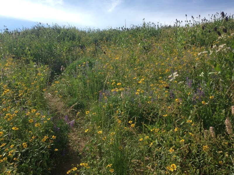 The trail as it winds up through a vast field of wildflowers