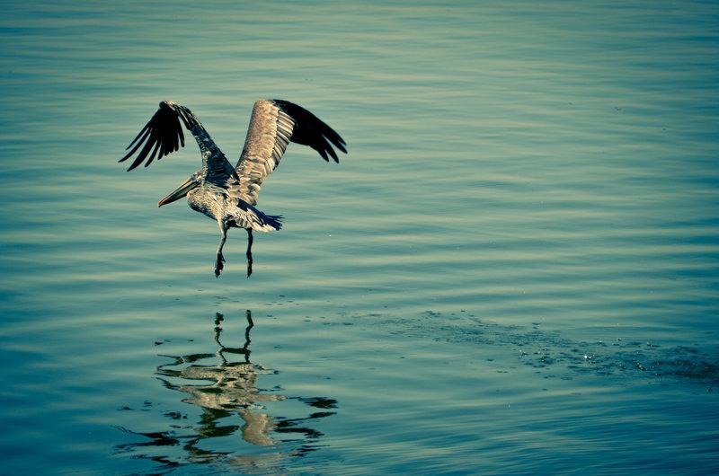 Pelican on Salt River