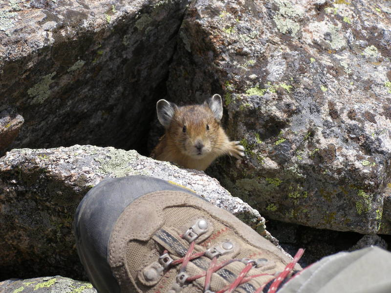 A rather inquisitive pika.  Unusual considering they are pretty skittish
