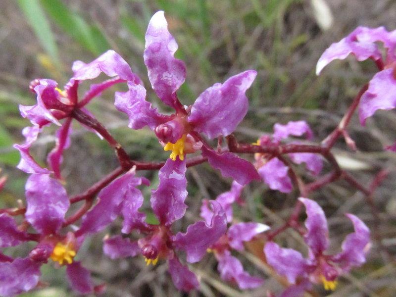 "Orchids ""Odontoglossum sp"""
