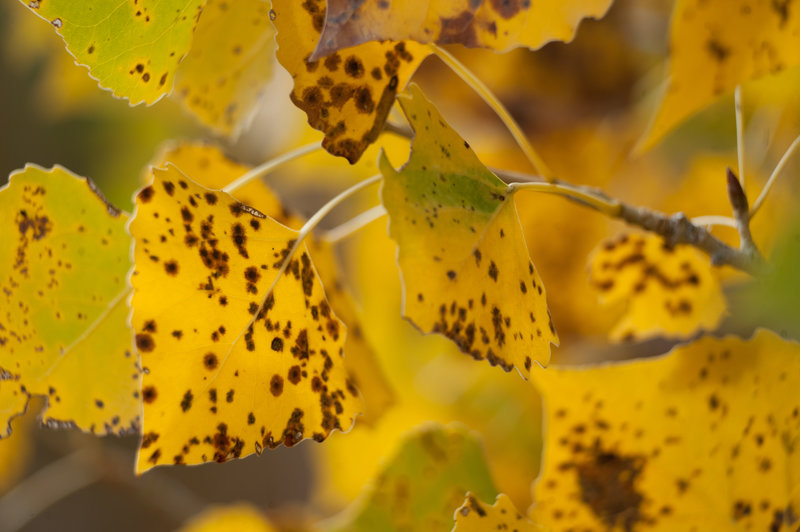 Autumn leaves in Courthouse Wash (photo by Neal Herbert NPS)