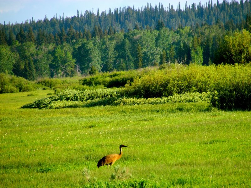 A Sandhill Crane browsing near Oxbow Bend.