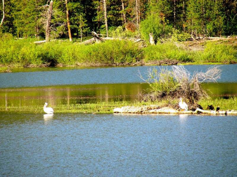 American white pelican and mergansers across the Snake River.