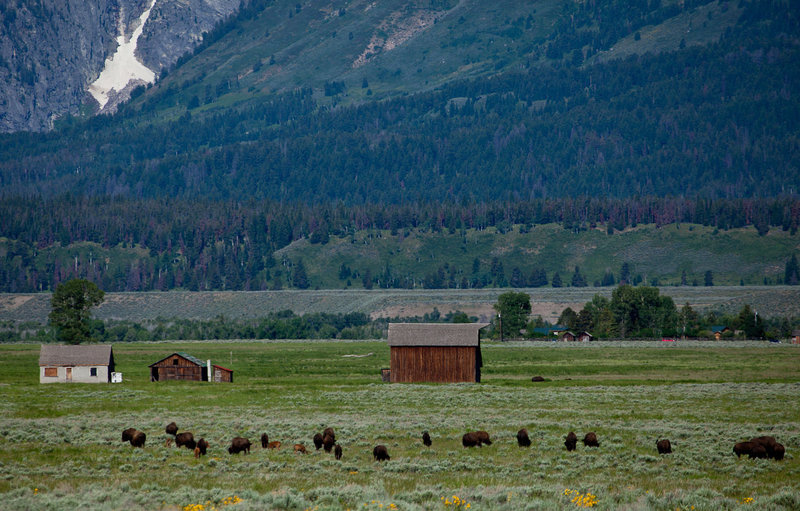 Mormon Row and bison