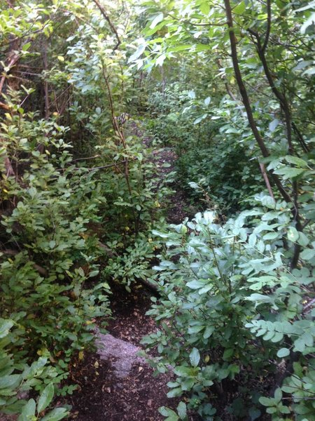The trail becomes more overgrown in the last section, though it's rarely difficult to follow.