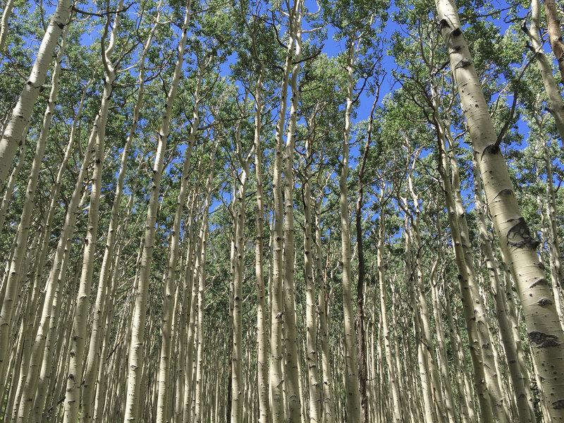 Amazing aspen forest in the Inner Basin