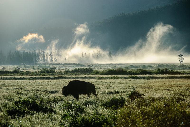 Buffalo in the mist
