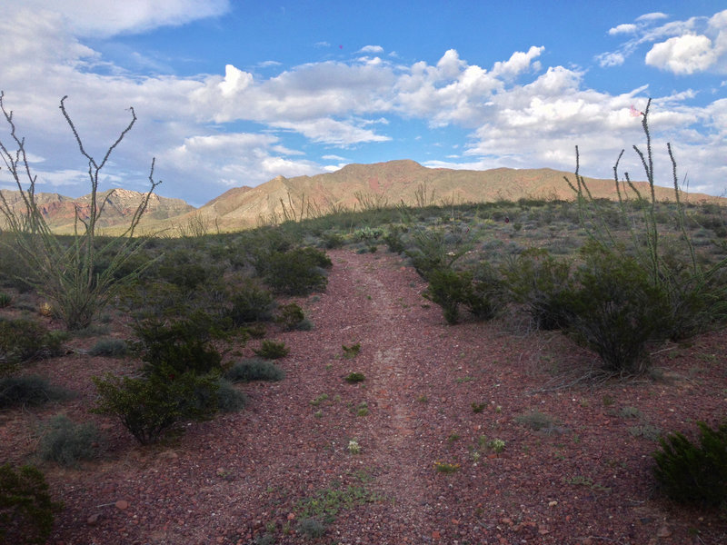 True to its name, Ocotillo Trail passes through a number of the desert plants, some growing up to twenty feet.