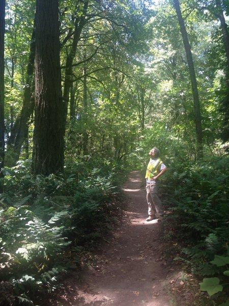 A lone hiker checks out a large Douglas fir on the Dogwood Trail. Bill Cunningham Photo