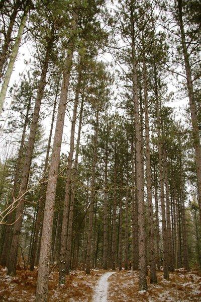 Pines in winter.
