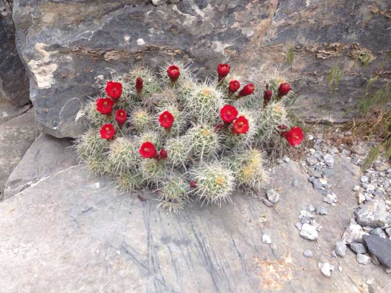 A flowering cactus with gorgeous scarlet flowers