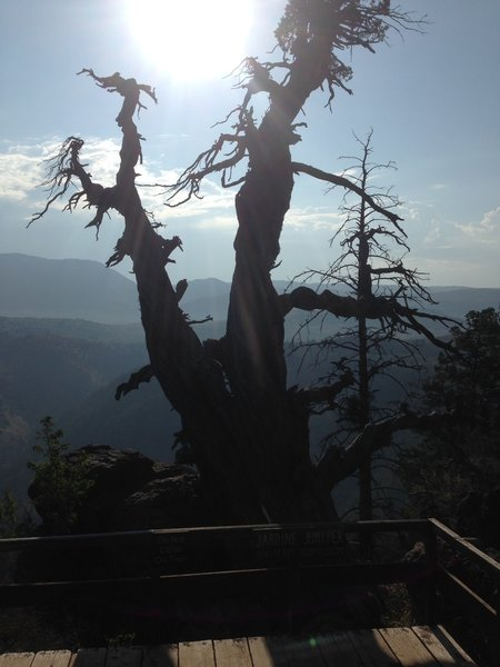 A washed out photograph of the old Jardine Juniper, reported to be about 1500 years old, as well as the overlook deck that sits right in front of it.