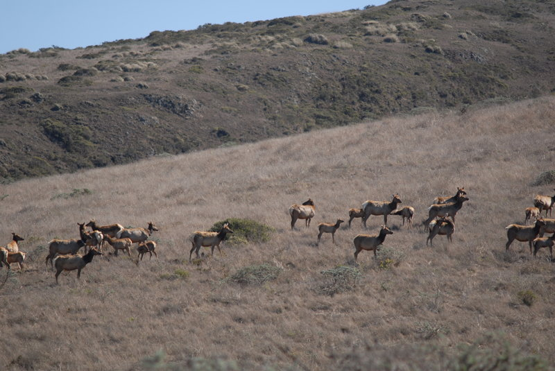 Tule Elk at the preserve.