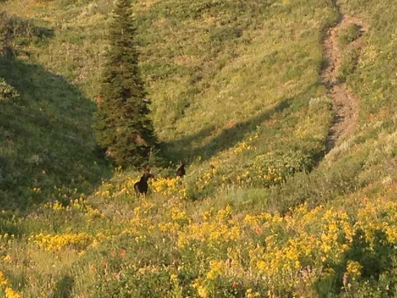 A pair of young bull moose crossing the meadow of wildflowers about a half mile from Cutler Spring