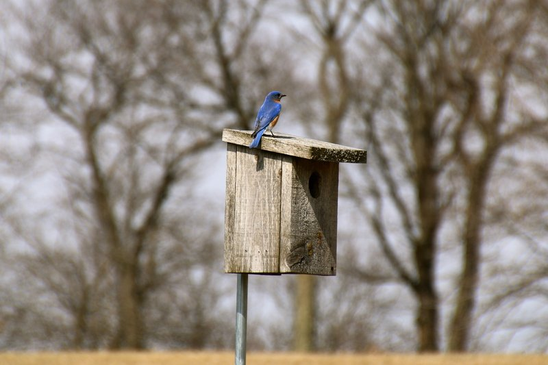 Early spring bluebird at Blue Mound State Park