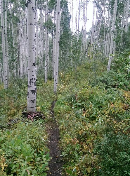 Mature aspens line most of this enjoyable trail