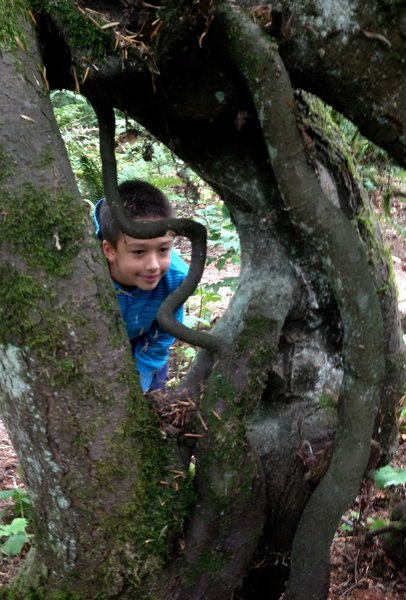 A boy checks out the exposed root system of a Western hemlock. The tree had grown on a host log that has rotted away.