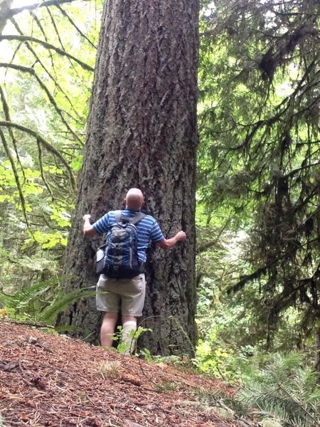 A hiker checks out the dimensions of an old-growth Douglas Fir. Fire Lane 10 offers a variety of trees and elevation change.