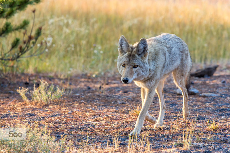 One of the many coyotes in Yellowstone.