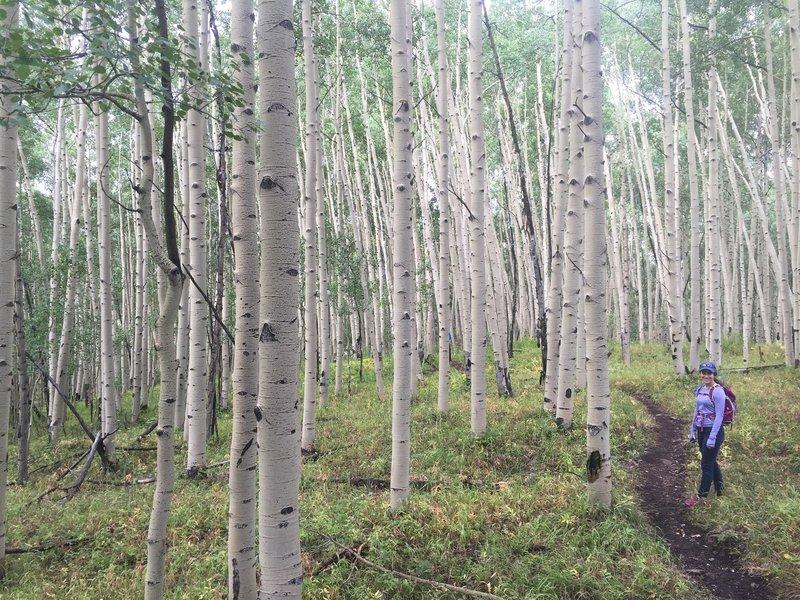 This aspen grove is like a fairytale...