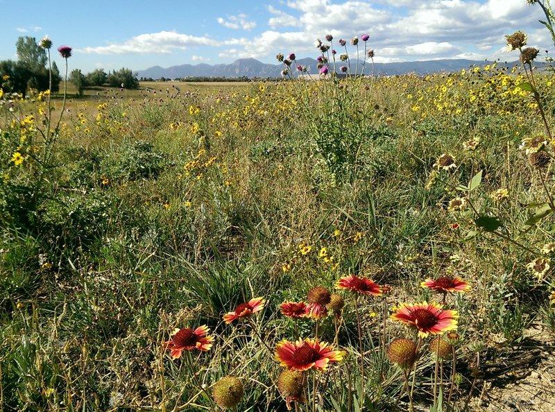 Good views of the flatirons through the abundant wildflowers at Dodd Reservoir