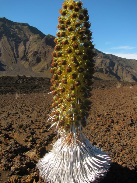 Haleakala Silversword Bloom