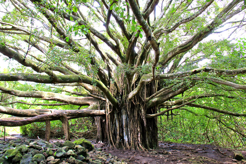 Huge Banyan tree on the Pipiwai Trail!