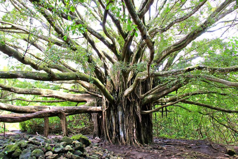 Huge Banyan tree on the Pipiwai Trail!
