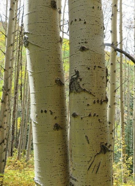 Bear claw marks. A 4 group set of circles shows the bear had a good grip while climbing. The downward slashes are where the bear slipped.