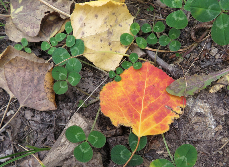 """Higher levels of anthocyanins (or """"sugars"""") from the right combination of rain, sun and cold can turn some of the aspen leaves red."""