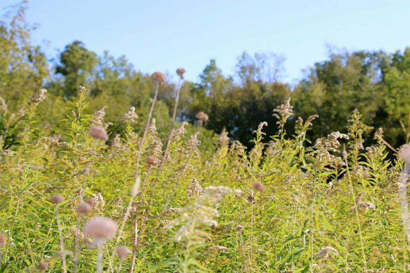 Prairie vegetation at the end of summer.