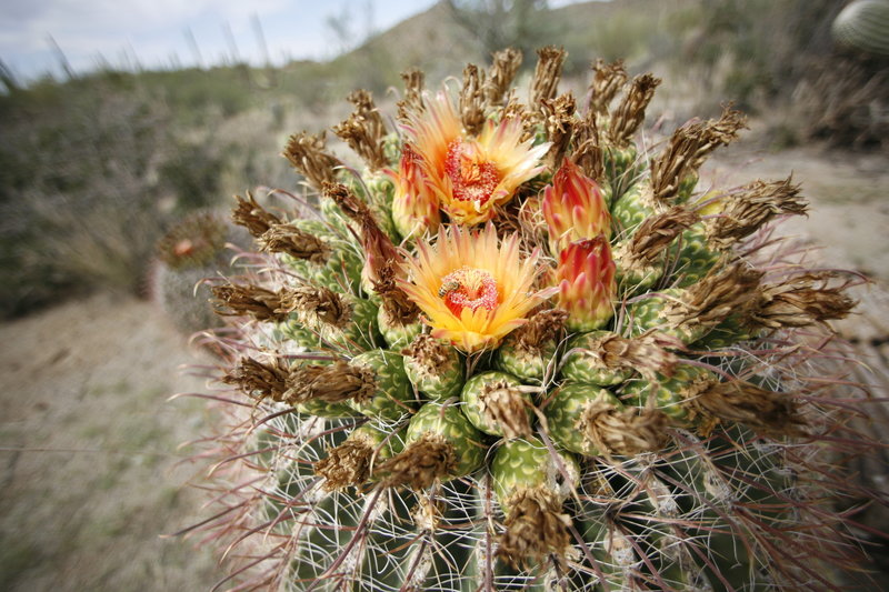 Flowering cactus after rain.