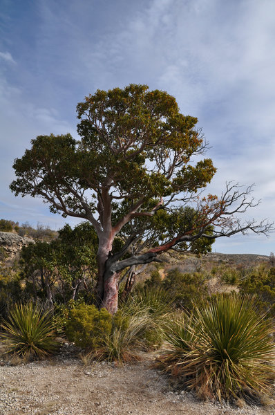 Texas Madrone